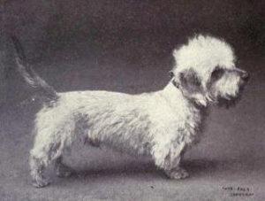Dandie Dinmont Terrier år 1905